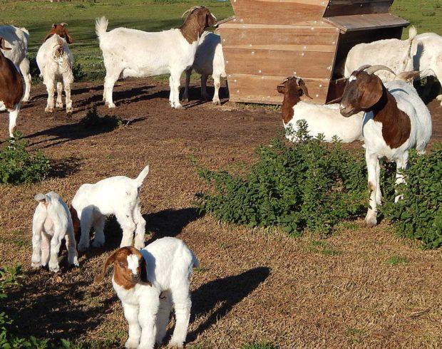 En la Cabaña las hembras Boer estan en paricion en esta semana