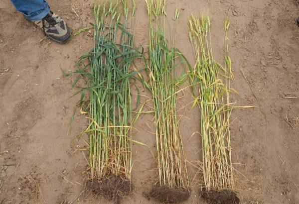 Trigo sin fertilizar, fertilización del productor e izquierda fertilización recomendada en campo de  25 de Mayo