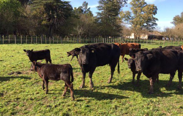 Vacas con sus crias en la Cuenca del Salado – Foto INTA Cuenca del Salado