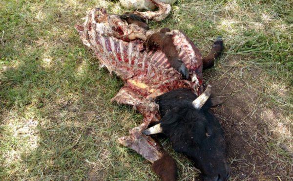 Animal bovino faenado al convecino Ascani