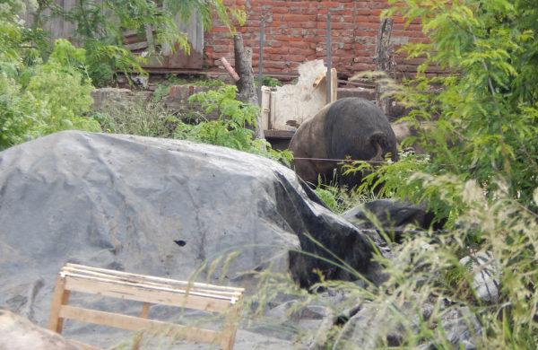 Un animal porcino que se cria y a pocas cuadras del centro de la ciudad