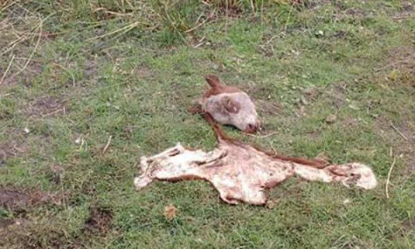 Animal Hereford faenado en cercanias de Norumbega