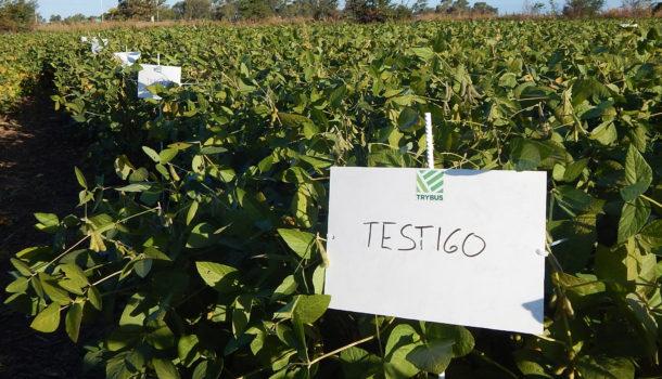 Campo experimental de Trybus, donde se evaluo la respuesta del fungicida en un año Niña