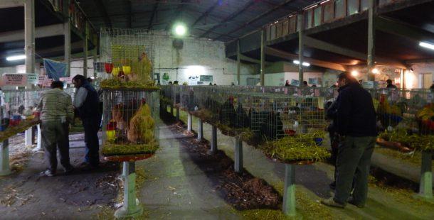 Mas de 200 aves estaran en la 5ta Expo Quiroga de Aves y Conejos de Raza
