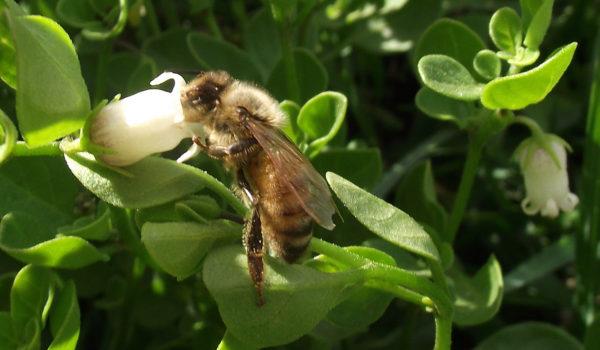 Una abeja en plena labor en un campo de 9 de Julio