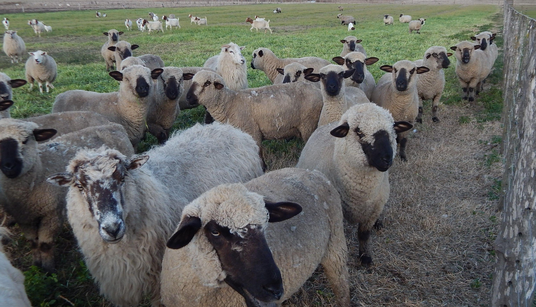 Carne ovina: Es saludable para el consumidor y positivo para el medio ambiente