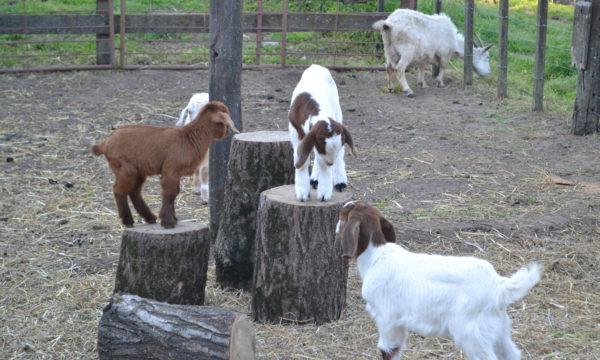 Animales de la granja vestiran la 121 Expo rural
