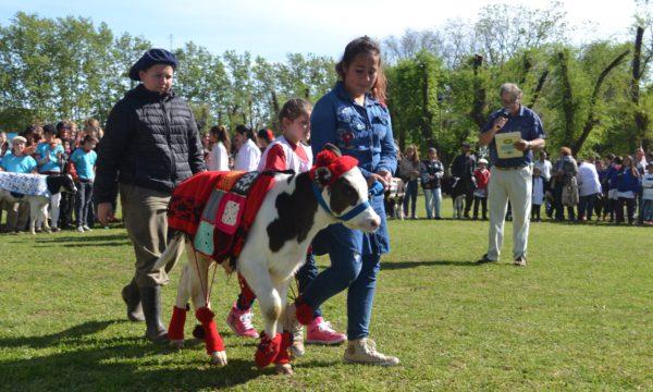 El Concurso de terneros atrae a muchas familias se desarrollara el sabado 6