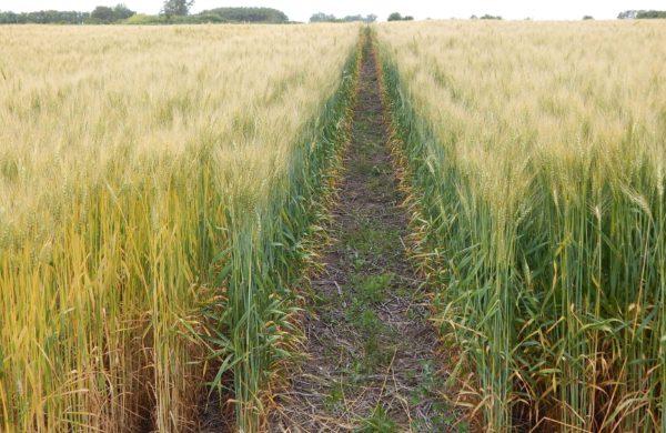 Notable diferencia entre un trigo con dosis adecuda de fertilizacion y con escaza aplicación en el partido de 25 de mayo