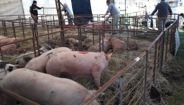 Se desarrollo una edición del Concurso de Cerdos en Sociedad Rural de 9 de Julio