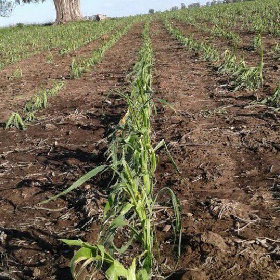 Cultivo de maiz seriamente afectado por granizo en Facundo Quiroga este vierens 2