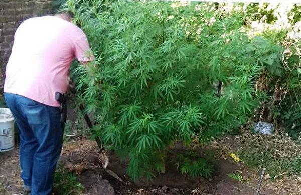 Un efectivo de la DDI retirando la planta de cannabis