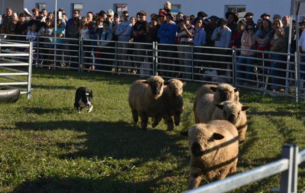 Manejo de rodeo de ovinos con perros