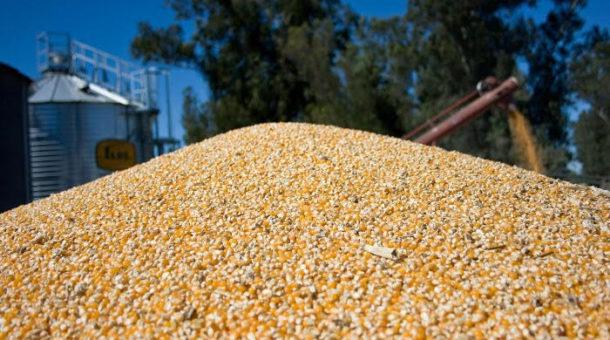 Maiz, el cereal tiene un año record