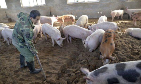 Un granjero chino trabajanado en su piara – foto voa noticias