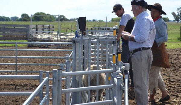 Jorge Masi Elizalde junto al personal durante el pesaje de corderos que fueron enviado a una feria de la region