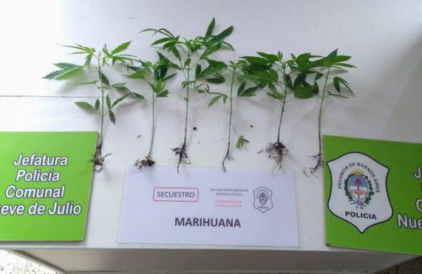 Plantas de marihuana incautadas por Policia 9 de Julio