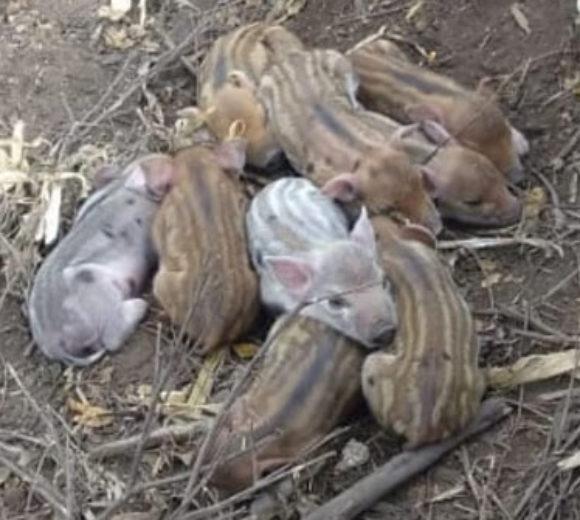 La cria de Porota producto de cruza con jabali