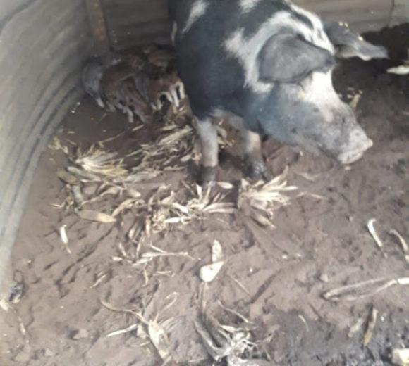 Porota con cria en la granja de los Monteros en 12 de Octubre