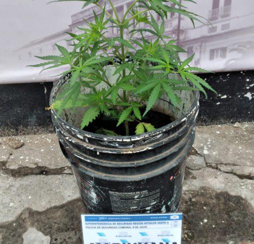 Planta de marihuana incautada