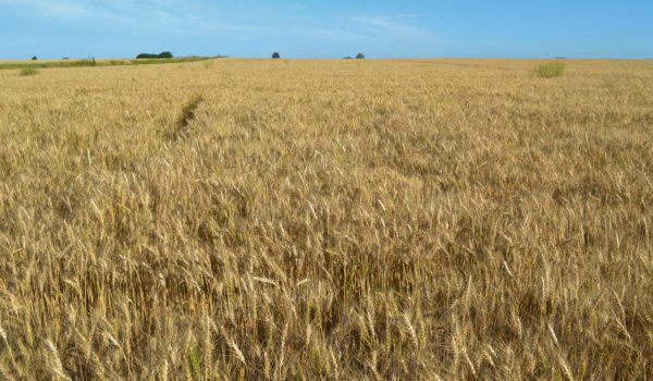 Lote trigo que en dias mas se estara cosechando en 9 de Julio